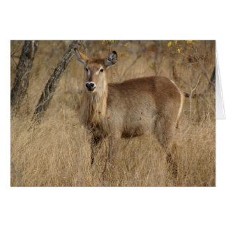 Cartão Sul - Impala africano