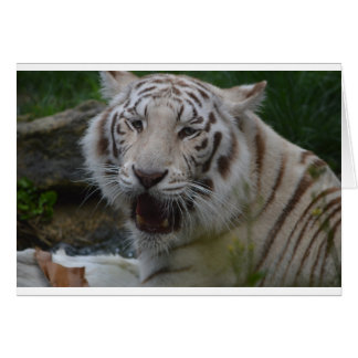 Cartão Tigre branco