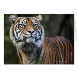 Cartão Tigre de Sumatran (sumatrae de tigris do Panthera)