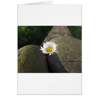 Cartão Única flor da margarida branca entre as pedras