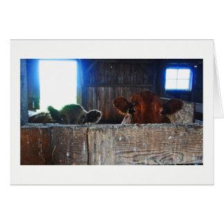 Cartão - vacas no celeiro que olha chocado