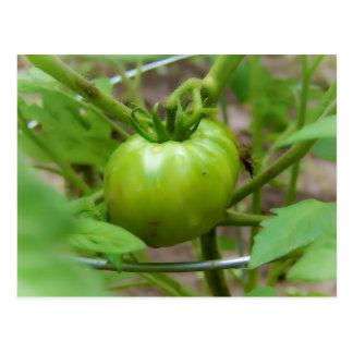Cartão verde cultivado em casa dos tomates