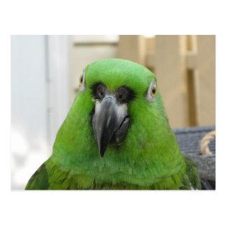 Cartão verde do papagaio de Panamá Amazon