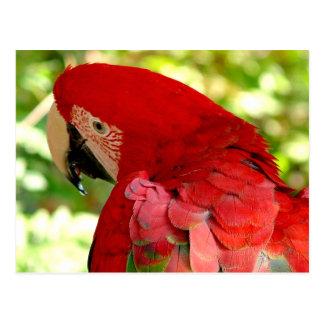Cartão vermelho do papagaio do Macaw