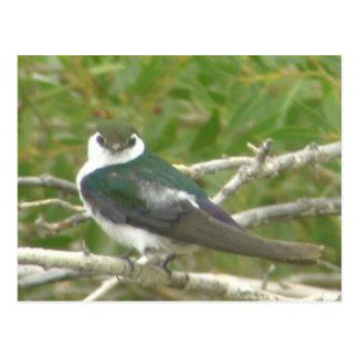 cartão Violeta-verde da andorinha