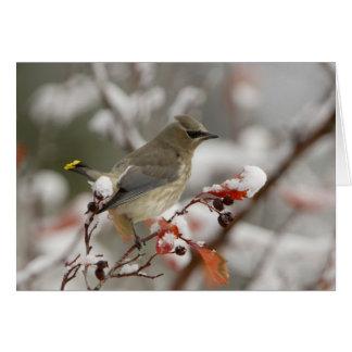 Cartão Waxwing de cedro adulto no hawthorn com neve, 3