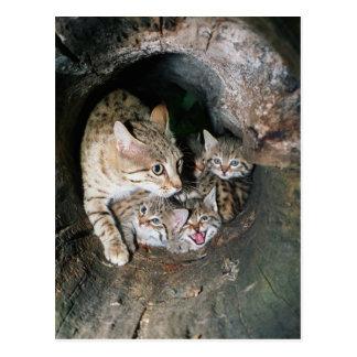 Cartão - wildcat asiático