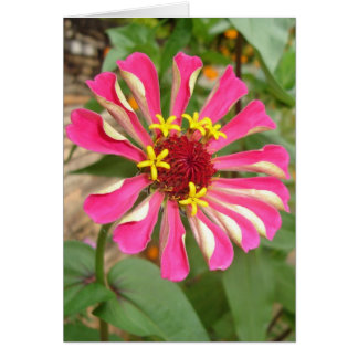 Cartão Zinnia multicolorido