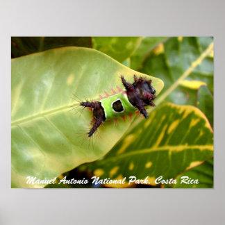 Caterpillar verde parque nacional de Manuel Anton Impressão