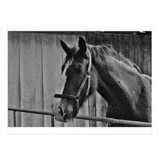 Cavalo branco preto - arte animal da fotografia cartão postal