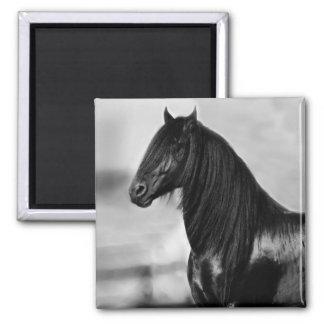 Cavalo orgulhoso do garanhão do preto do frisão ímã quadrado