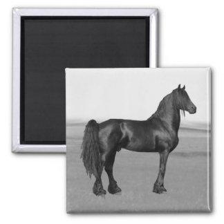 Cavalo orgulhoso do garanhão do preto do frisão imãs