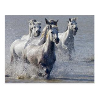 Cavalos de Camargue que funcionam na região Cartão Postal