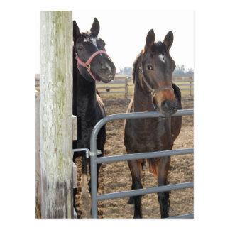 Cavalos do sentido de cavalo cartão postal