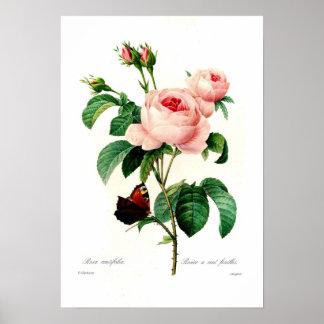 Centiflora de Rosa Poster