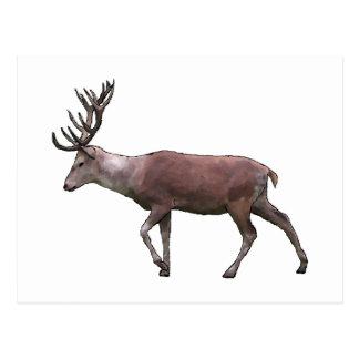 Cervos vermelhos cartão postal