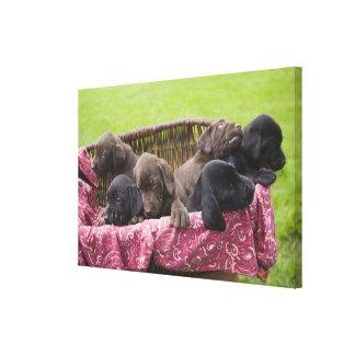 Cesta de filhotes de cachorro de labrador retrieve impressão em canvas
