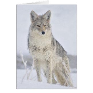 Chacal - fotografia dos animais selvagens por cartão comemorativo