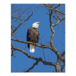 Chamando a águia americana impressão de foto