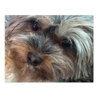 Charlotte o cartão do cão pequeno cartão postal