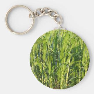 Chaveiro As plantas de milho verde estão crescendo no verão