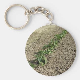 Chaveiro Plantas frescas da manjericão que crescem no campo