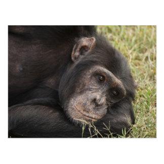 Chimpanzé comum que levanta o descanso cartão postal
