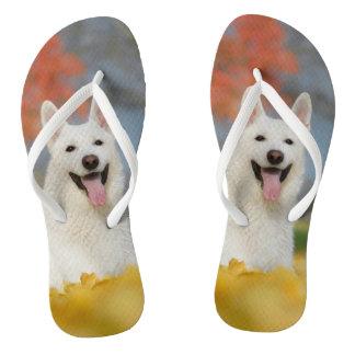Chinelos Foto suíça branca do cão de pastor/amigo peludo