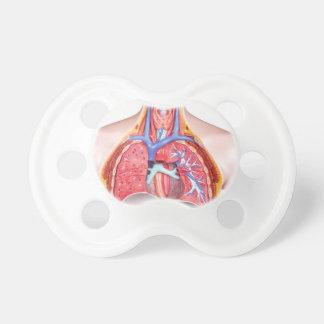 Chupeta Corpo humano interno modelo no fundo branco