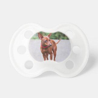Chupeta Retrato do cão vermelho do pinscher diminuto