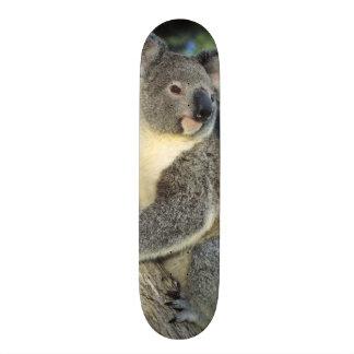 Cinereus do Koala, do Phascolarctos), Austrália, Skate Personalizado