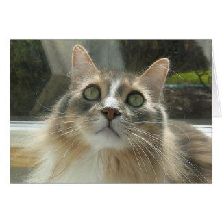 Cinza e branco noruegueses do gato da floresta cartão