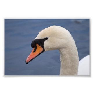 Cisne muda impressão de foto