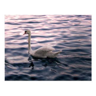 Cisne no crepúsculo cartão postal