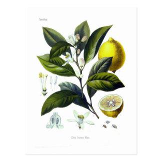 Citrus Limonum (limão) Cartão Postal