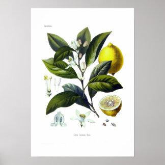 Citrus Limonum (limão) Pôster