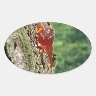 Close up da excreção da árvore de pera da resina adesivo oval