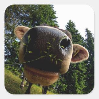 Close up do nariz da vaca, engraçado adesivo quadrado