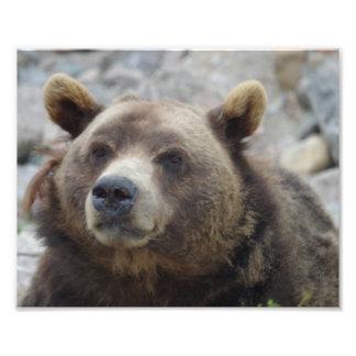 Close up do urso de Kodiak Impressão De Foto