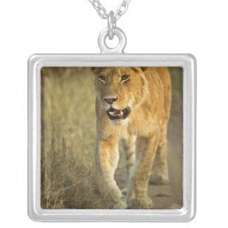 Colar Banhado A Prata Leão fêmea que anda no por do sol, Masai Mara,