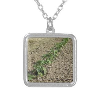 Colar Banhado A Prata Plantas frescas da manjericão que crescem no campo