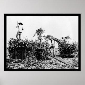 Colheita do cana-de-açúcar em Havaí 1917 Poster