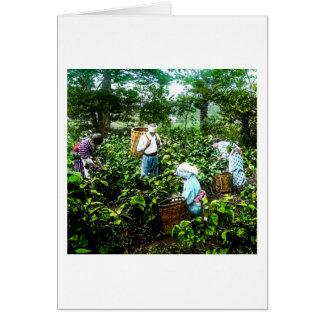 Colhendo fazendeiros idosos de Japão das folhas de Cartão