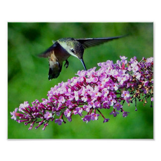 Colibri 4 pôster