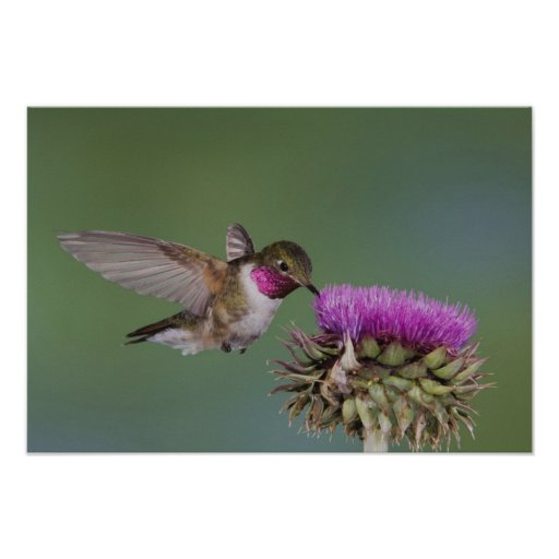 colibri Largo-atado, Selasphorus 2 Poster