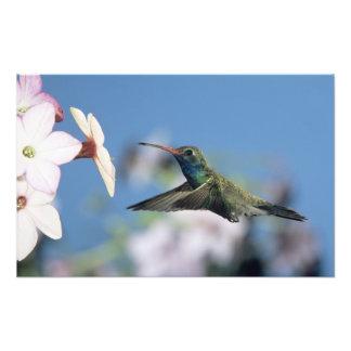 colibri Largo-faturado, Cynanthus Impressão De Foto