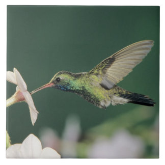 colibri Largo-faturado, latirostris de Cynanthus,
