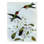 colibris Rubi-throated Cartões Postais