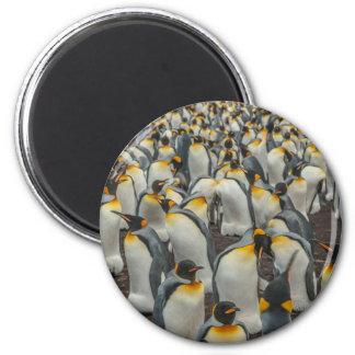 Colônia do pinguim de rei, Malvinas Imã
