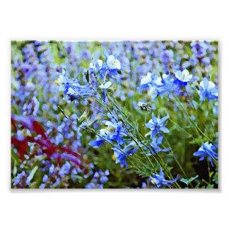 Columbines azul - flores impressão fotográficas